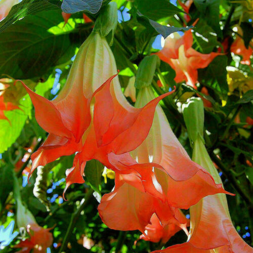 20x Red Brugmansia Datura Seeds Angels Trumpets Huge Garden Flower F4Z3 Blo D2P3
