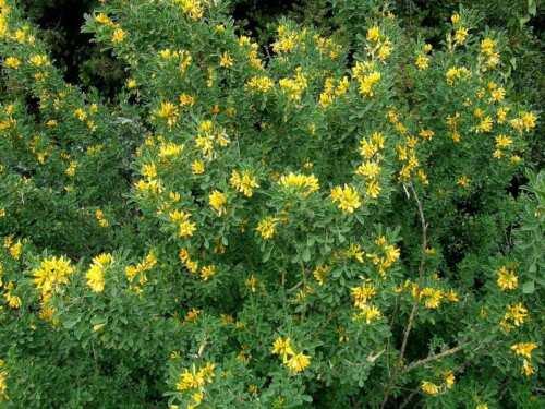 Medicago arborea 10 graines//seeds