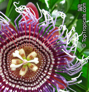Passiflora-quadrangularis-Riesengrenadilla-Passionflower-10-100-Samen
