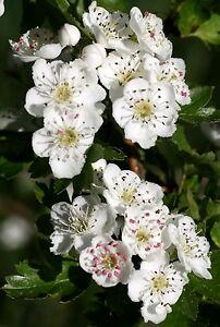 25-Stueck-Weissdorn-Heilpflanze-Wildobst-Crataegus-monogyna-50-80-cm-wurzelnackt