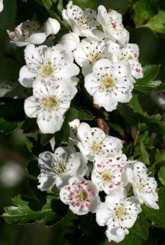 25 Stück Weißdorn Heilpflanze Wildobst Crataegus monogyna  50-80 cm wurzelnackt