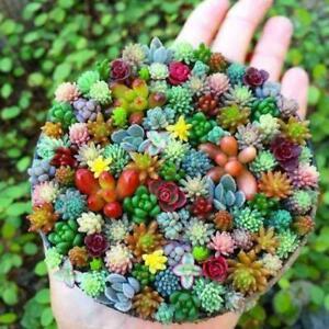 100x-Mini-Sukkulente-Kaktus-Samen-Seltene-Mehrjaehrige-Kraeuterpflanzen-New-N8N5