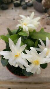RHIPSALIDOPSIS-HATIORA-GAERTNERI-Easter-Cactus-White-5cm-Stem-Cutting-Esqueje
