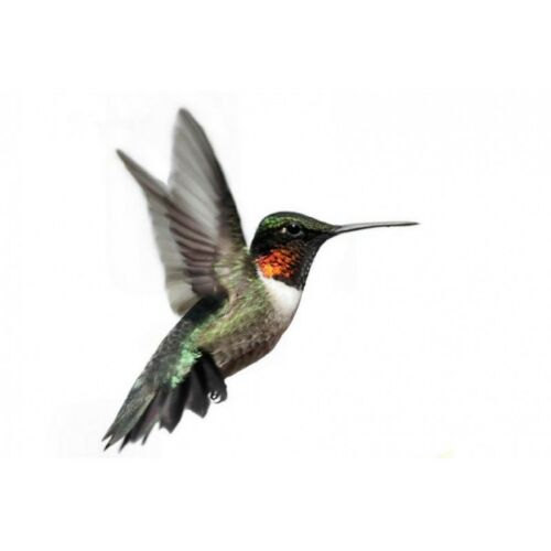 Affiche poster colibri 32935747 Art déco Stickers