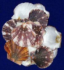 """Pecten Pyxidata, Clam,Scallop, Craft Shells 1-1/2"""" ~ (20) Half  Seashells"""