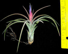 Califano tillandsia airplant air plant for sale from oahu hawaii