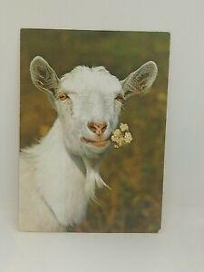 Vtg-Druck-Verlag-Ziege-Chevre-Goat-Chromolux-5015-Unused