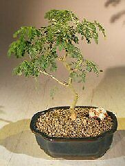 Bonb E3230 Bonsai Boys Flowering Buttonwood Bonsai Tree Conocarpus Erectus For Sale Online Ebay