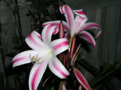 Veracruz Crinum Lily small-size bulb