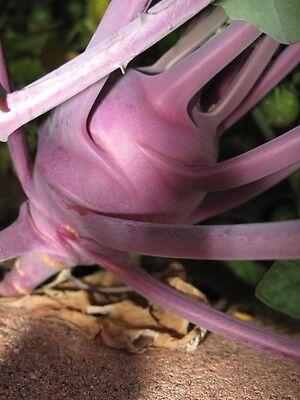 2000 PURPLE VIENNA KOHLRABI Brassica Oleracea Seeds