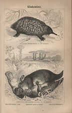 Lithografie 1887: Kloakentiere. Ameisenigel Schnabeltier Stacheligel