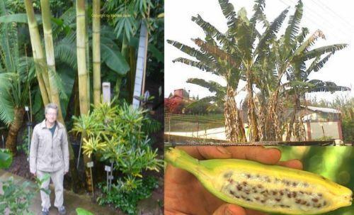 Gigantische Bananen-Palme und monströser Bambus für den Garten