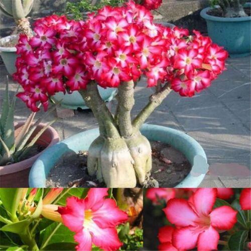 New Rare Flower Pink Adenium Obesum Desert Rose Bonsai Tree Plant Seed 5PC