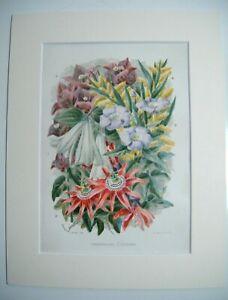 Antique c1880 Chromolithograph Botanical Floral Print ~ GREENHOUSE CLIMBERS