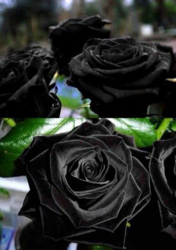 100 HIGH QUALITY SEEDS 100 SEMI DI ROSA NERA BLACK ROSE