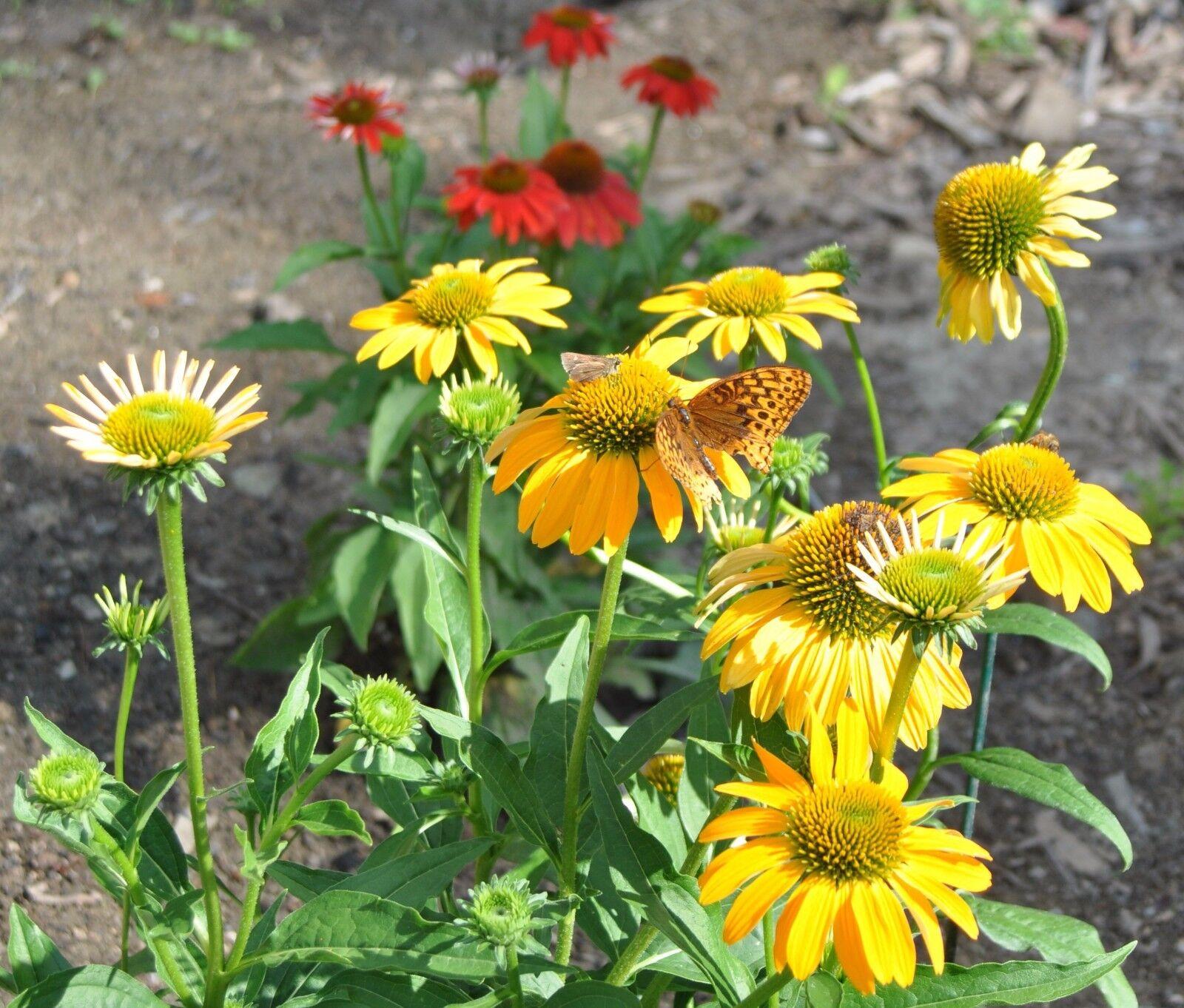 Cheyenne Spirit Yellowgold Coneflower Echinacea Perennial 40 Seeds
