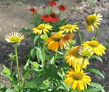 Cheyenne Spirit Yellow/Gold Coneflower Echinacea Perennial 35+ Seeds Butterflies