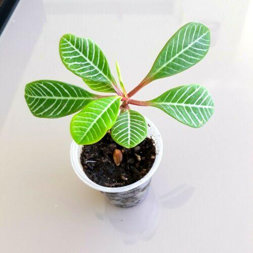 CUTE  ESTABLISHED BABY PLANT Euphorbia Leuconeura Madagascar Jewel young plant
