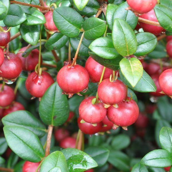 Chilean Guava (Ugni Molinae) - 10 Seeds > Strawberry Myrtle > NZ Cranberry >Rare