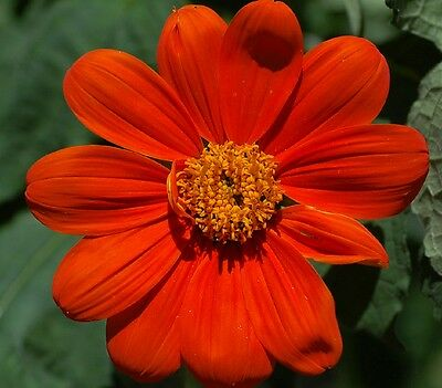 Tithonia rotundiflouia Torch - Mexican sunflower - 10 Grams - Orange / Red