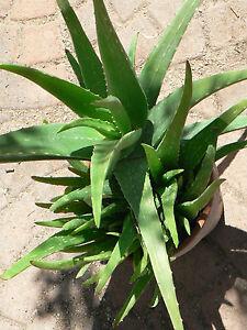 1 large aloe vera barbadensis medicinal plant cactus succulent plants organic ebay. Black Bedroom Furniture Sets. Home Design Ideas