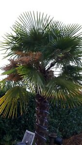 Trachycarpus-fortunei-X-Trachycarpus-nanus-100-rare-hybrid-seeds
