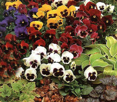 FLOWER PANSY GIANT SWISS MIXED 10,000 FINEST SEEDS BULK