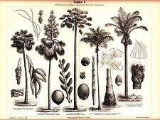 ca 1894 Botanical PALMS Nuts,Coquito Buriti Oreodoxa Regia Antique Print