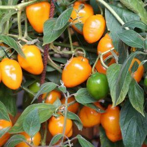 Rocoto-Aji-Oro-orange-Chili-mit-Pfirsicharoma-scharfe-Chilli-Capsicum-pubescens