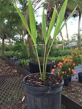 3 Adonidia Palm -  Christmas Palm Tree  seedlings 6-8 inches tall  bare root  $7