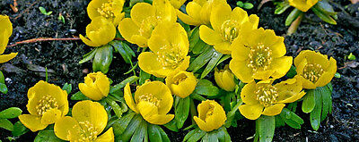 Winter Wolf's Bane bulb Spring Flowering Bulb hardy zone 4 to 8