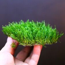 Flame Moss Pad 7cm   Live Aquarium Fish Tank Plants Low Light Co2 Tropical  Fern