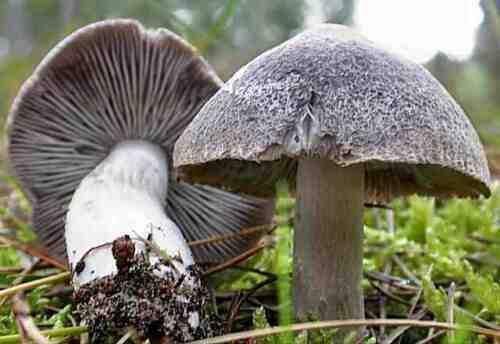 10 g Fresh GREY KNIGHT Tricholoma Mushroom Spores Spawn Seeds Mycelium eBook