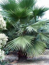 3 Arecaceae Palmen Samen Nr 800