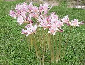1\2 dz Surprise Lily Naked Lady or Resurrection lily 6 bulbs heirloom FREE S&H