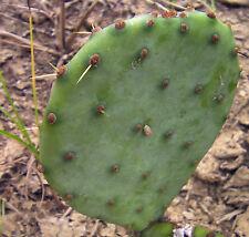 3 Pads with roots hardy Opuntia violacea Purple Santa Rita Prickly Pear Cactus