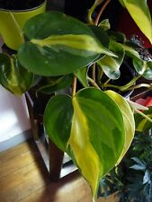 Brazilian Philodendron Cutting♡Easy Tropical Vining House Plant & Air Purifier♡