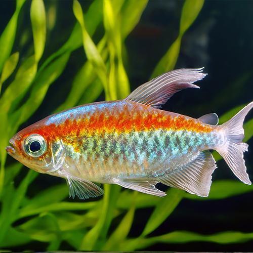 Live Tropical Aquarium Fish for Sale - Congo Tetra - Bundles 1 - 20