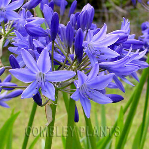 AGAPANTHUS-TORBAY-AFRICAN-LILY-PERENNIAL-30-SEEDS-blue-flower
