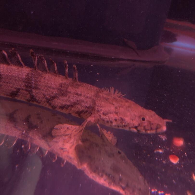 Polypterus endlicheri 8-9  - live tropical fish