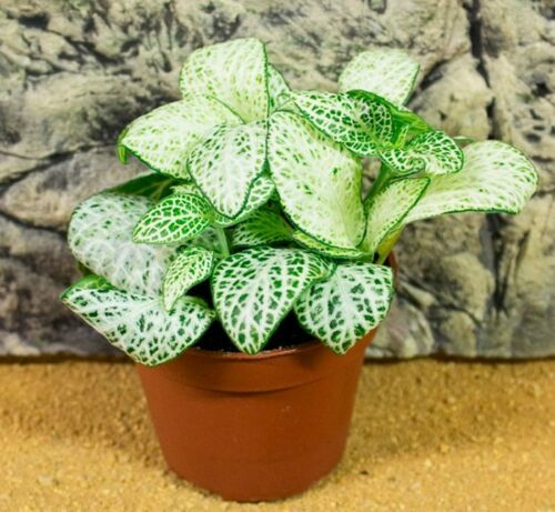 50 Fittonia Flowers Grass Seeds Beautiful Exotic Potted Bonsai Decorative Plants