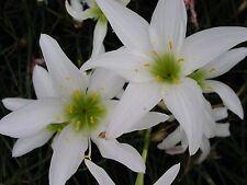 Rain Lily, Zephyranthes Atamasca var. treatiae, 4 bulbs, RARE, habranthus