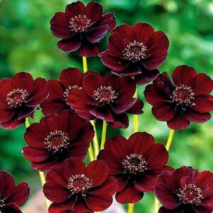 HD-100X-Rare-Chocolate-Cosmos-Seeds-Cosmos-Bipinnatus-Calliopsis-Garden-Flower
