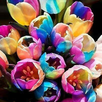 5 Pcs Beauty Rare Rainbow Tulip Flower Bulbs Seeds Perennials Spring Bloom