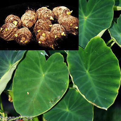 10 Small Green Taro Bulbs Roots Koi Pond Tropical Plant Edible