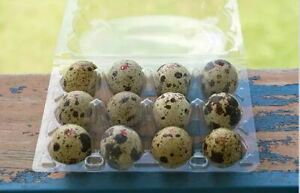 Japanese Quail Fertile Hatching Eggs High Quality  3 Dozens - FREE EXPRESS POST