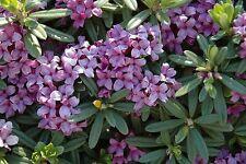 "Lawrence Crocker Daphne - Intoxicatingly Sweet Fragrance/Long Blooming -2.5"" Pot"