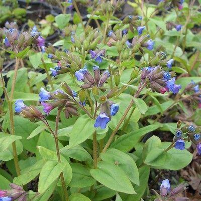Lungenkraut (Pulmonaria angustifolia) Schattenpflanze * Frühling * Nektarpflanze