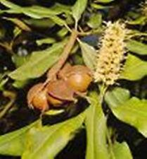 Macadamia Nut Oil - REGENERATIVE - 8 oz
