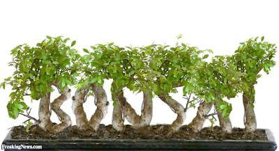 50pcs Juniper Bonsai Tree Seeds Garden Perennial Dwarf Decor Purifies the Air